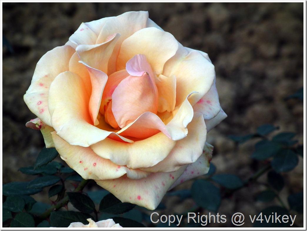 Breath Of Life Climbing Rose Flower Wallpaper