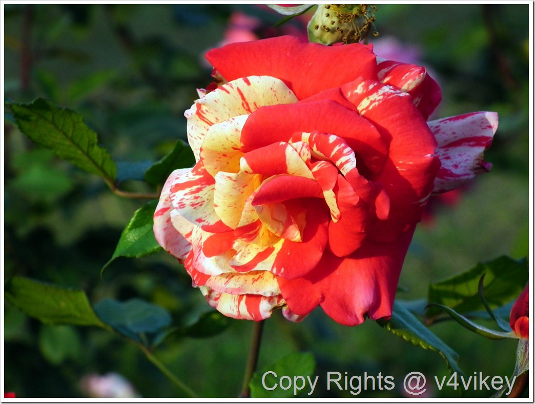 All American Magic Rose Flower