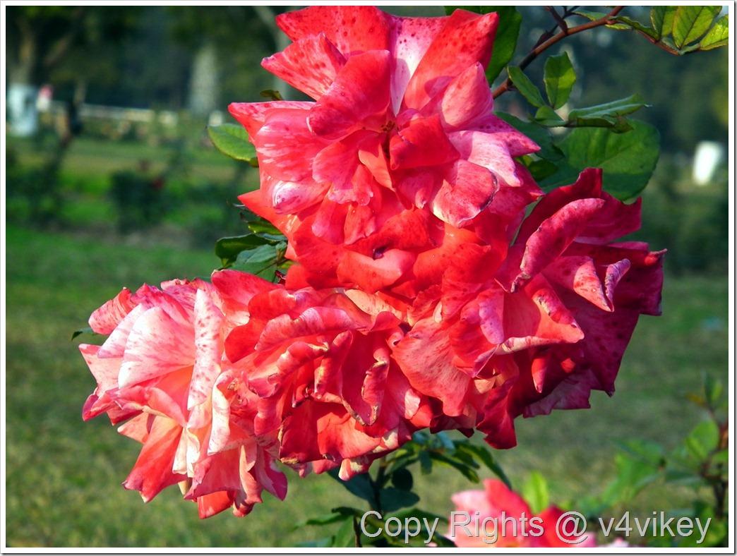 Red Climbing Rose flower