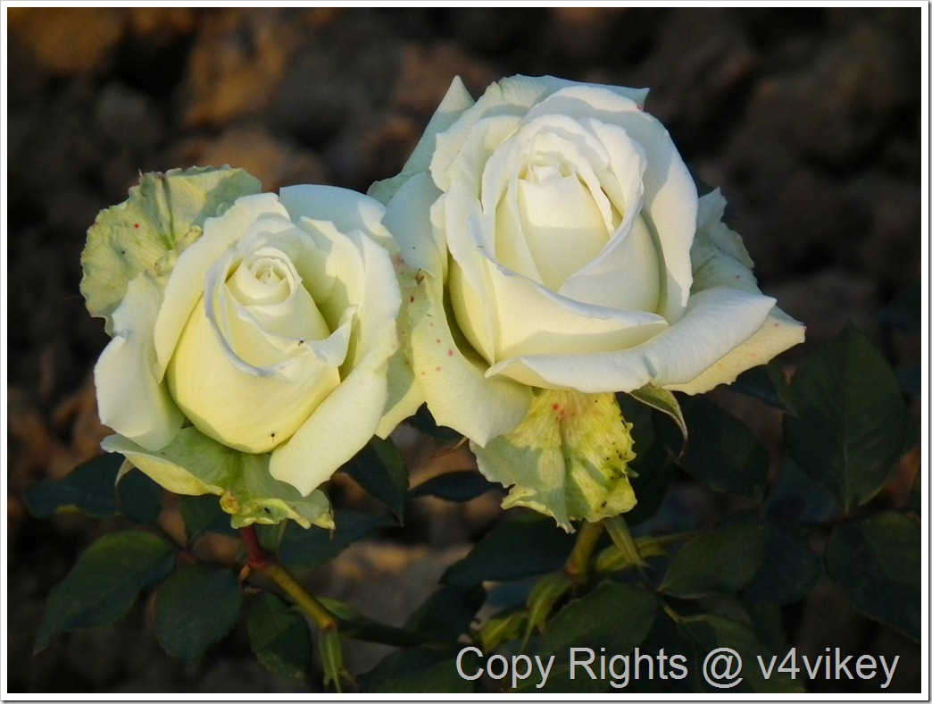 Isis Hybrid Tea Rose Flower Wallpaper