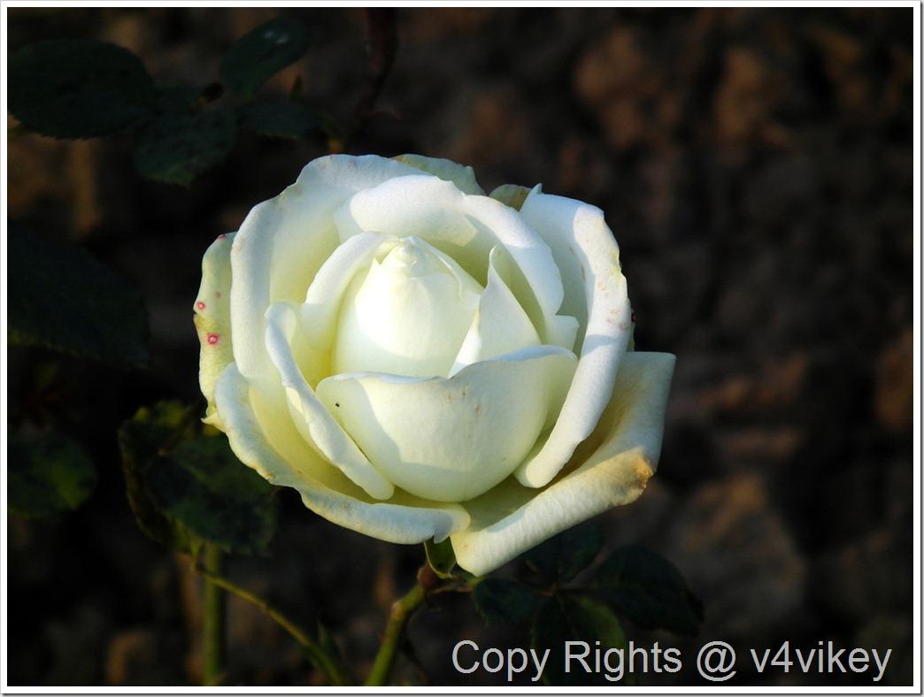 Isis Hybrid Tea Rose
