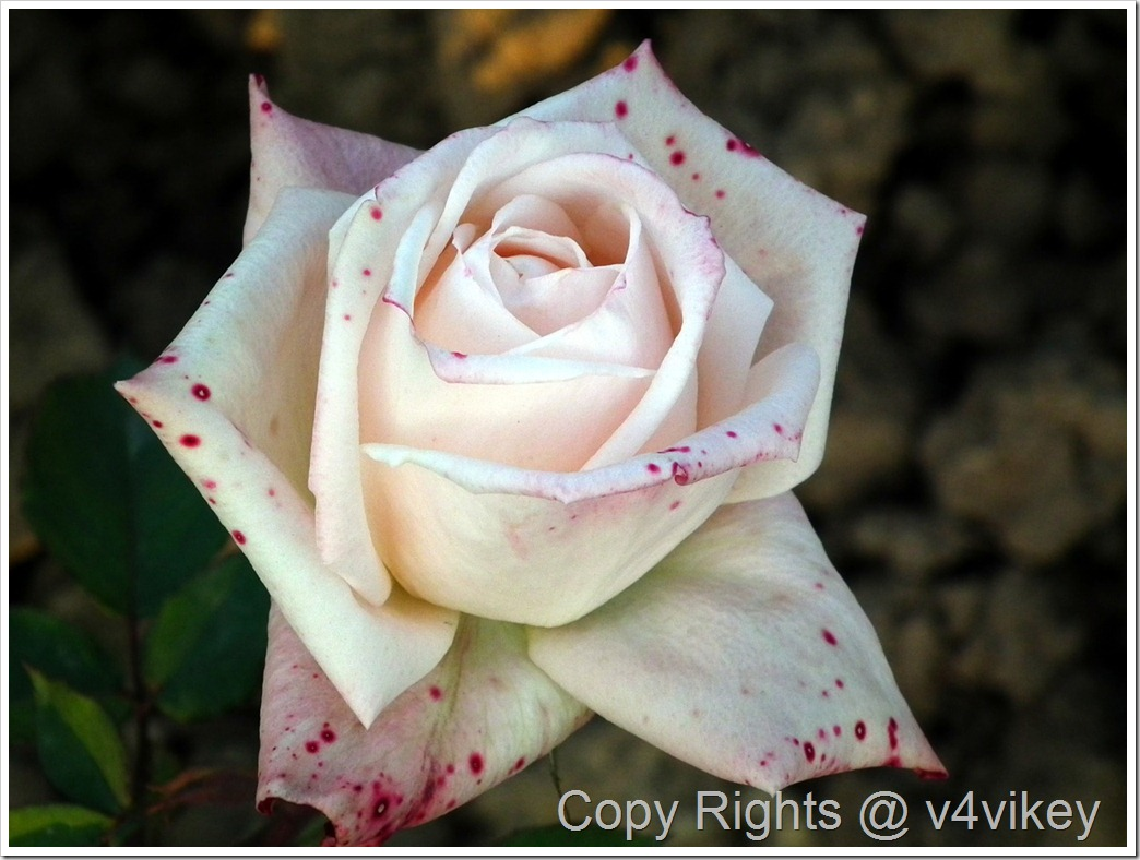 Close up of White Hybrid Rose