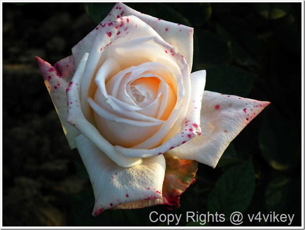 White Hybrid Rose Flower Picture