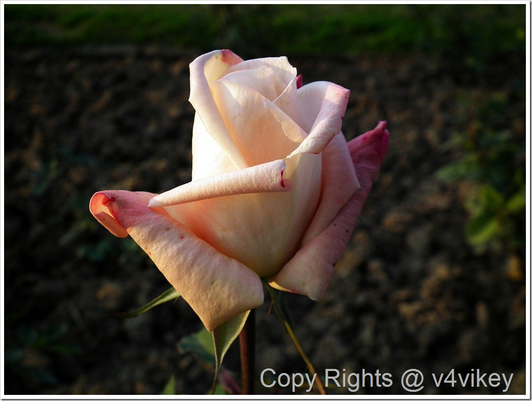 Bronze Star Hybrid Tea Rose