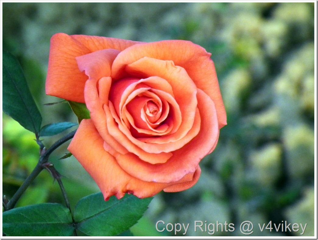 Wallpaper of Beauty Star Hybrid Tea Rose