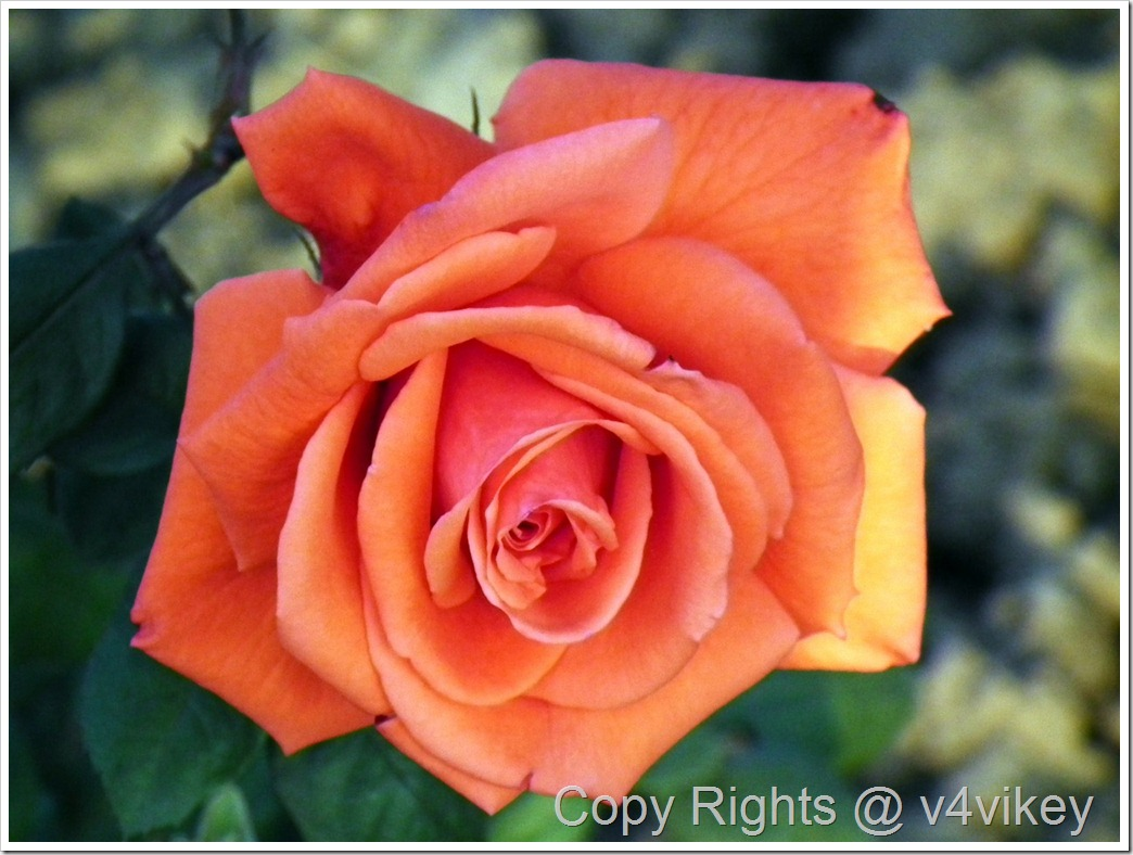 BEAUTY STAR HYBRID TEA ROSE FLOWER