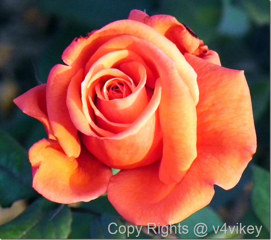 BEAUTY STAR HYBRID TEA ROSE
