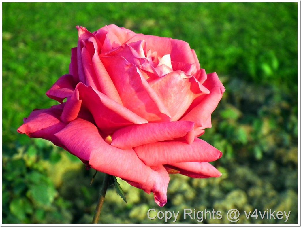 Wee Jock Rose Flower