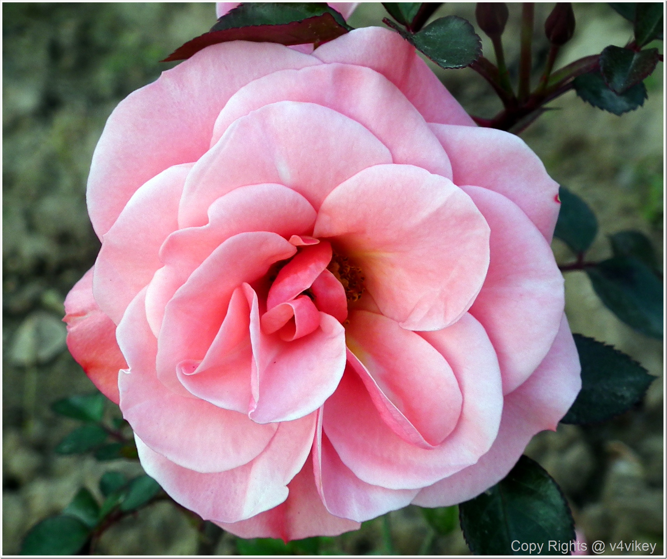 Sweet Surrender Pink Hybrid Tea Rose