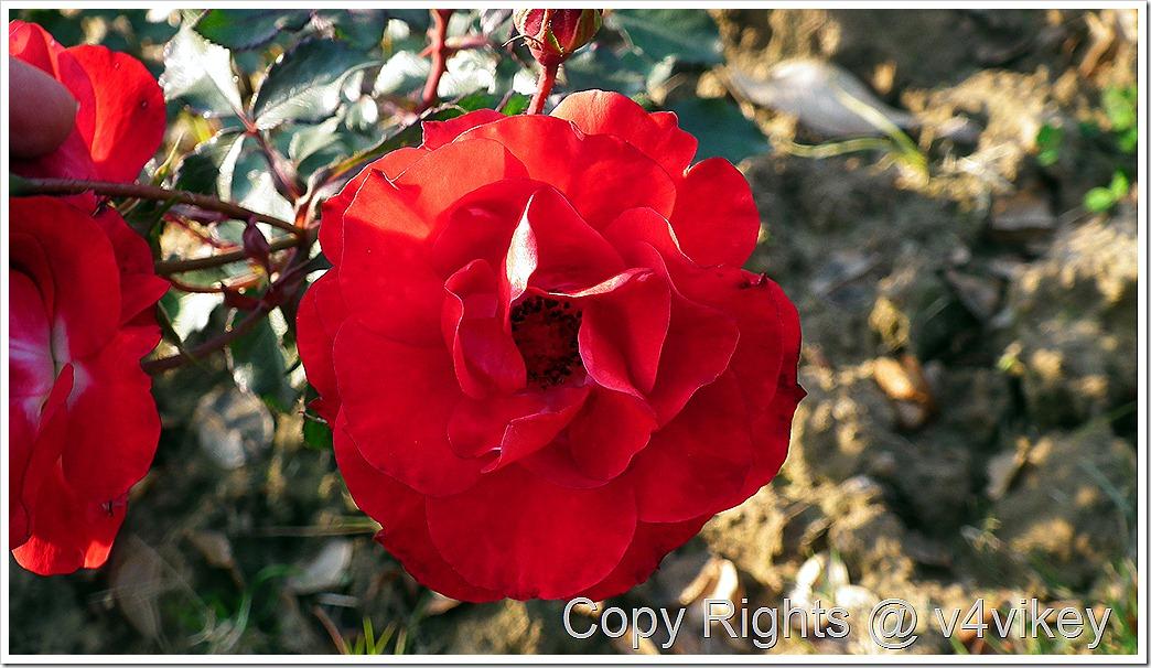 Red Dublin Bay Roses