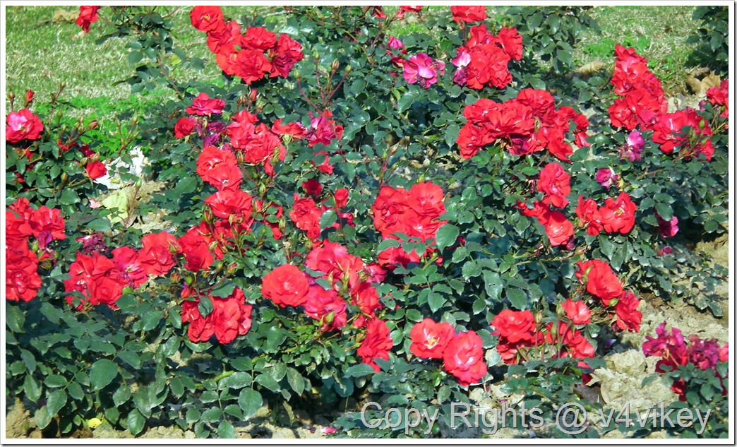 Dublin Bay Climbing Rose