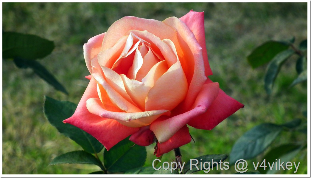 Cajun Sunrise Rose Flower wallpaper