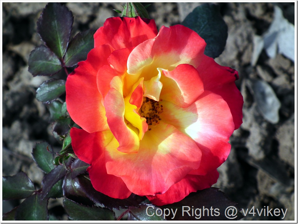 Hybrid Tea Double Delight Roses