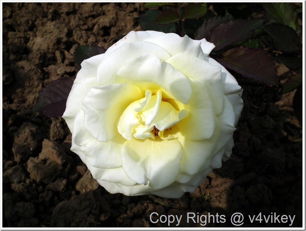 this is one of the best garden white rose